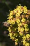 Flores amarillas del cactus con cierre de la abeja para arriba Fotos de archivo
