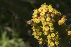 Flores amarillas del cactus con la abeja Fotos de archivo libres de regalías