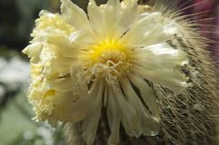 Flores amarillas del cactus de la torre imagen de archivo