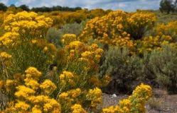 Flores amarillas del cepillo de conejo de oro de New México Imagen de archivo