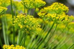 Flores amarillas del cierre del eneldo para arriba Imágenes de archivo libres de regalías