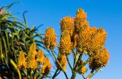 Flores amarillas del cono Imagen de archivo