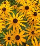 Flores amarillas del cono del summerina del rudbeckia Foto de archivo
