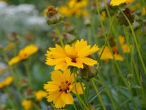 Flores amarillas del Coreopsis tickseed Fotos de archivo