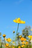 Flores amarillas del cosmos Imagenes de archivo