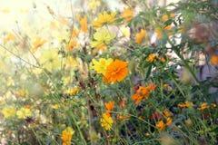 Flores amarillas del cosmos Foto de archivo