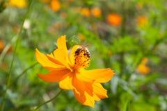 Flores amarillas del cosmos Fotografía de archivo