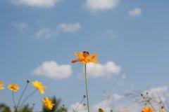 Flores amarillas del cosmos Fotos de archivo libres de regalías