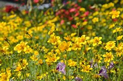 Flores amarillas del cosmos del jardín Foto de archivo libre de regalías