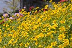 Flores amarillas del cosmos del jardín Fotos de archivo libres de regalías