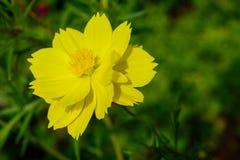 Flores amarillas del cosmos en el jardín - cosmos floreciente Imagen de archivo
