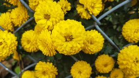 Flores amarillas del crisantemo Imágenes de archivo libres de regalías