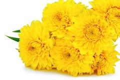 Flores amarillas del crisantemo. Foto de archivo libre de regalías