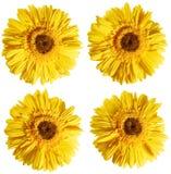 Flores amarillas del crisantemo Imagen de archivo