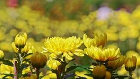Flores amarillas del crisantemo del primer en la luz del sol brillante almacen de video