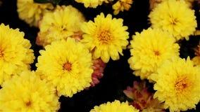 Flores amarillas del crisantemo en el jardín almacen de video