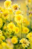 Flores amarillas del crisantemo imagen de archivo libre de regalías