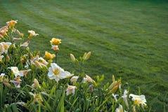 Flores amarillas del daylily Fotografía de archivo