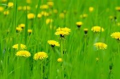 Flores amarillas del diente de león Fotos de archivo libres de regalías