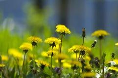 Flores amarillas del diente de león Imagen de archivo libre de regalías
