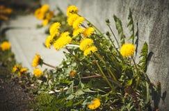 Flores amarillas del diente de león Fotos de archivo