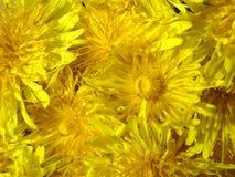 Flores amarillas del diente de león imágenes de archivo libres de regalías