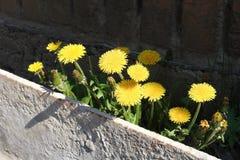 Flores amarillas del diente de león Imagen de archivo