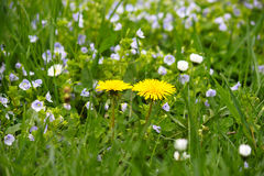 Flores amarillas del diente de león en hierba verde Imágenes de archivo libres de regalías