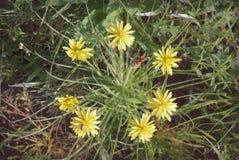 Flores amarillas del diente de león en salvaje Imagen de archivo