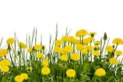 Flores amarillas del diente de león en un fondo blanco Foto de archivo libre de regalías