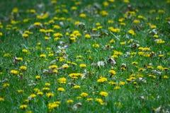 Flores amarillas del diente de león del paisaje de la primavera en la hierba imágenes de archivo libres de regalías