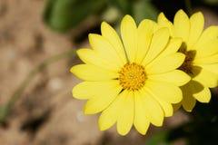 Flores amarillas del dimorphotheca Imágenes de archivo libres de regalías