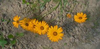 Flores amarillas del dimorphotheca en la tierra Imagen de archivo libre de regalías