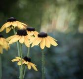 Flores amarillas del Echinacea Imagen de archivo
