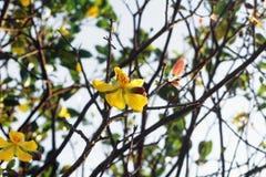Flores amarillas del flor del melocotón Imagen de archivo
