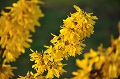 Flores amarillas del forsytia Imagen de archivo libre de regalías