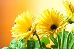Flores amarillas del gerbera Fotos de archivo libres de regalías