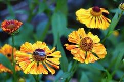 Flores amarillas del helenium Imagenes de archivo