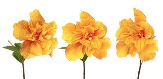 Flores amarillas del hibisco Fotografía de archivo libre de regalías