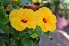 Flores amarillas del hibisco fotografía de archivo