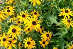 flores amarillas del hirta Negro-observado de Susan o del Rudbeckia en jardín fotos de archivo libres de regalías