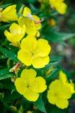 Flores amarillas del jardín Foto de archivo
