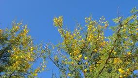 Flores amarillas del karroo de Vachellia del acacia Flora africana almacen de metraje de vídeo