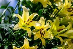 Flores amarillas del lirio Foto de archivo