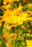 Flores amarillas del lirio Foto de archivo libre de regalías