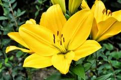 Flores amarillas del lirio Imagen de archivo libre de regalías