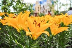 Flores amarillas del lirio Fotos de archivo libres de regalías