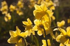 Flores amarillas del narciso Fotografía de archivo