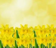 Flores amarillas del narciso, cierre para arriba, fondo amarillo del degradee Sepa como narciso, daffadowndilly, narciso, y junqu foto de archivo