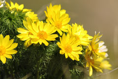 Flores amarillas del ojo del ` s del faisán Imágenes de archivo libres de regalías